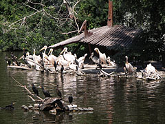 Realm of the aquatic birds, pelicans and cormorants on the island of the Great Lake (and several sunbathing slider turtles as well) - Budapešť, Maďarsko