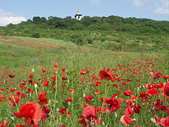 Poppy field close to the lookout tower on Somlyó Hill - Mogyoród, Macaristan