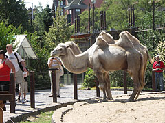 Bactrian camels (Camelus bactrianus) - Budapest, Hongrie