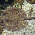 Ocellate river stingray or peacock-eye stingray (Potamotrygon motoro) - Budapest, Hongrie