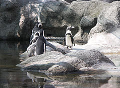 African penguins or jackass penguins (Spheniscus demersus), they seems to be gathered to consult on something - Budimpešta, Madžarska