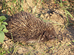 European hedgehog or Common hedgehog (Erinaceus europaeus) - Mogyoród, Madžarska