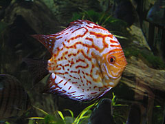 Blue discus fish (Symphysodon aequifasciatus) - Budapeszt, Węgry