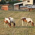 Spotted horses - Mogyoród, Węgry