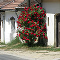 Row of snow white wine cellars with beautiful red rose shrub - Mogyoród, Ungarn