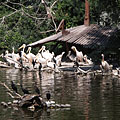 Realm of the aquatic birds, pelicans and cormorants on the island of the Great Lake (and several sunbathing slider turtles as well) - Boedapest, Hongarije