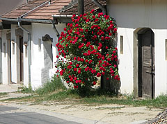 Row of snow white wine cellars with beautiful red rose shrub - Mogyoród, Ungern