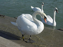 Mute swan (Cygnus olor) on the pier - Balatonfüred, هنغاريا
