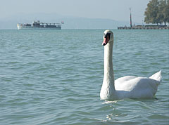 Mute swan (Cygnus olor) swims majestically on Lake Balaton - Balatonfüred, هنغاريا