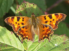 Comma (Polygonia c-album) butterfly - Mogyoród, هنغاريا