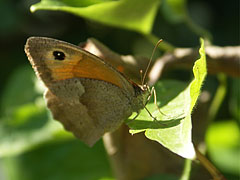 Meadow brown butterfly (Maniola jurtina), female - Szentendre, هنغاريا