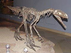 Herrerasaurus ischigualastensis, an early bipedal (walking on two legs) carnivorous dinosaur - Budapest, Hungary
