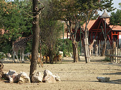 Savanna enclosures with giraffes and a group of Nile lechwe antelopes - Budapest, Hungary