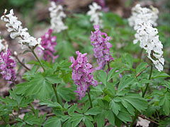 Bulbous corydalis or fumewort (Corydalis cava) white and mauve colored flowers - Eplény, Hungary