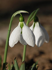 Giant snowdrops (Galanthus elwesii) in a garden in early spring - Mogyoród, Hungary