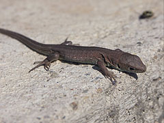 Brown lizard - Mogyoród, Hungary