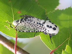 Wood leopard moth (Zeuzera pyrina) on birch branch - Mogyoród, Hungary