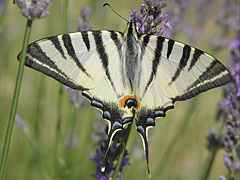 Scarce swallowtail or sail swallowtail (Iphiclides podalirius), a large butterfly - Mogyoród, Hungary