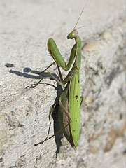 European mantis or Praying mantis (Mantis religiosa) - Mogyoród, Hungary