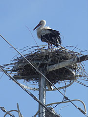 The nest of a white stork on an electric pylon - Paks, Hungary