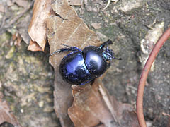 A bluish-black earth-boring dung beetle (Geotrupes stercorarius) on the forest floor - Pilis Mountains (Pilis hegység), Hungary