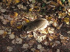 A cat is looking for something in the autumn leaf-litter - Szarvas, Hungary