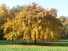 A standalone tree with its yellow autumn foliage - Szarvas, Hungary