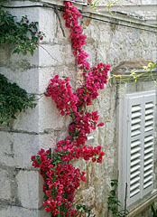 A red flowered creeper plant, a so-called bougainvillea climbs on the wall - Trsteno, Croatia