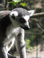 Portrait of a ring-tailed lemur (Lemur catta) - Veszprém, Hungary