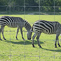 Grant's zebras (Equus quagga boehmi, formerly Equus burchelli boehmi) in the African Savannah enclosure - Veszprém, Hungary