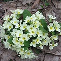 Common primrose (Primula vulgaris), pale yellow flowers in the woods in April - Eplény, ハンガリー