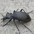 Leatherback ground beetle (Carabus coriaceus) - Mogyoród, ハンガリー