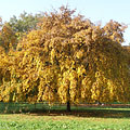 A standalone tree with its yellow autumn foliage - Szarvas, ハンガリー