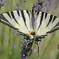 Scarce swallowtail or sail swallowtail (Iphiclides podalirius), a large butterfly - Mogyoród, 헝가리